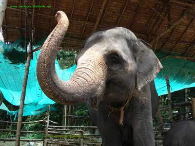 photo 12 English prices of rent, the elephant walks on the island of Koh Samui in Thailand 400